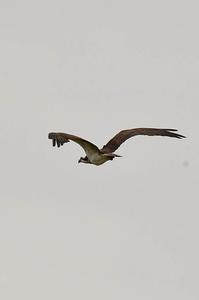 山のため池でミサゴが・・・ - 阪南カワセミ【野鳥と自然の物語】