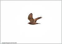 サシバの渡り - 野鳥の素顔 <野鳥と日々の出来事>