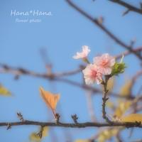*河津桜* - HANA*HANA