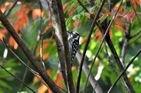 紅葉と木の実とコゲラさん - 鳥と共に日々是好日②