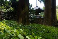 かなり早めの秋海棠 - katsuのヘタッピ風景