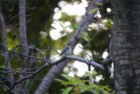 千里南公園のノゴマ、服部霊園のクイナ(2020.10.13&14) - 週末バーダーのBirding記録