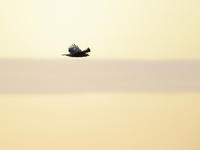 イヌワシ幼鳥:①夕陽に染まる飛翔体2020 - バード・アイ・ライフ