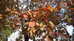 10月18日(日)7時過ぎ、晴れ、朝の手賀沼散歩機場公園の通り沿いにハナミズキが紅葉し、赤い小さな実をつけていた。柏ふるさと公園では、ドングリを6個拾った。子どものころ、拾えなかったものだ。 -
