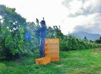 ヴォータノワインさんの収穫作業のお手伝い~~。 - 乗鞍高原カフェ&バー スプリングバンクの日記②