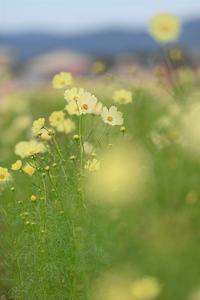 亀岡「コスモス園」 - Taro's Photo