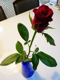 なかなか咲かない薔薇★もしかして若返りの薬? - 月夜飛行船2