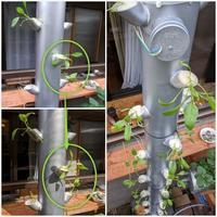 Fogponics(超音波噴霧耕)ホウレン草タワー - ■■ Ainame60 たまたま日記 ■■