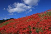 彼岸花咲く大原の里山 - 花景色-K.W.C. PhotoBlog