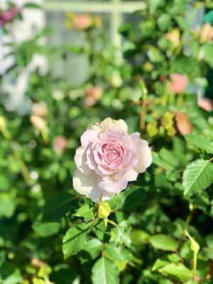 咲いてきたロマンティックレース♡と、床屋さん♫ - 薪割りマコのバラの庭