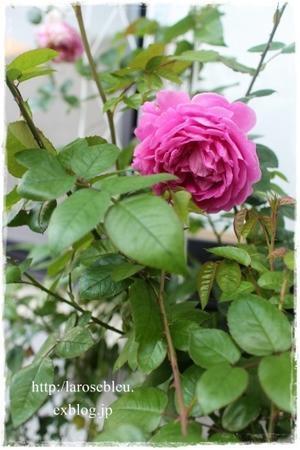 秋の'プラリーヌ・ルージュ' - La rose 薔薇の庭