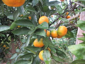 ご近所さんの柑橘類 - 丹後半島 のんびり気まま暮らし