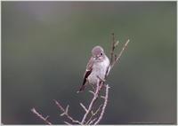 コサメビタキも近くで - 野鳥の素顔 <野鳥と日々の出来事>