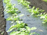 大根の間引き - 野菜tukuri