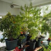 耐寒性のないハーブ - sola og planta ハーブを育てながら