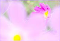 ピンクコスモスは「純潔」 - ☆彡 四季写遊 ☆彡