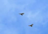 帆翔するサシバ - 季節の映ろひ