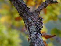 お山のコゲラたち(ベランダから(その22)) - トドの野鳥日記