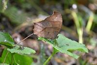 クロコノマチョウ  樹陰の蝶 - 蝶のいる風景blog