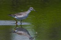 キアシシギ(黄脚鷸)とアオアシシギ(青脚鷸) - 野鳥などの撮影記録