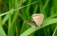 寒露蟋蟀在戸(きりぎりすとにあり) - 紀州里山の蝶たち
