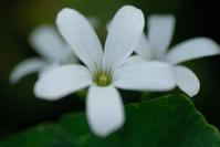 白花イモカタバミ - かたくち鰯の写真日記2