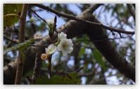 十月桜 - 花ありて 日々