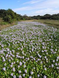 金魚草(ホテイアオイ)の花が・・・ - 趣味人の時偶ブログ