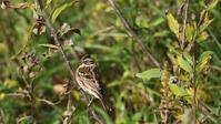 カシラダカ - 北の野鳥たち