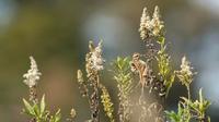 ホオジロ - 北の野鳥たち