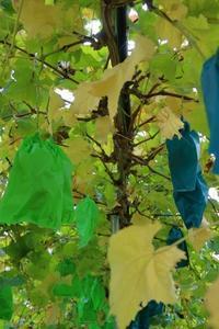 今日の収穫シャインマスカット糖度 - ~葡萄と田舎時間~ 西田葡萄園のブログ