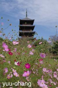 備中国分寺コスモスと五重塔 - 下手糞でも楽しめりゃいいじゃんPHOTO BLOG