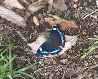 クロコノマチョウ - jick のぐうたら蝶日記