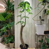 観葉 色々^ ^ - ブレスガーデン Breath Garden 大阪・泉南のお花屋さんです。バルーンもはじめました。