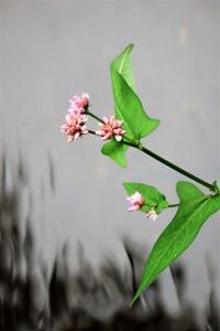 ミゾソバや花壇の花など - ぶらり散歩 ~四季折々フォト日記~
