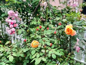 前代未聞の大失敗(´°̥̥̥̥̥̥̥̥ω°̥̥̥̥̥̥̥̥`)どうしよ〜、と薬剤散布(^-^) - 薪割りマコのバラの庭