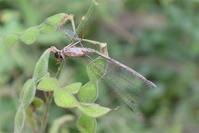 イネツトムシ - 蝶と蜻蛉の撮影日記