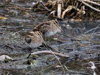 公園の池にいたタシギ - コーヒー党の野鳥と自然パート3