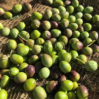 オリーブの収穫2020!〜オリーブ農園日記 vol.33 - 幸せなシチリアの食卓、時々にゃんこ