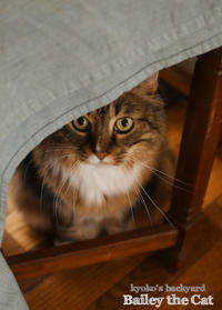 コタツを待つ猫 - Kyoko's Backyard ~アメリカで田舎暮らし~