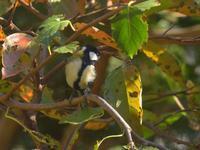 庭の手入れ後秋色のシジュウカラヤマトシジミ2020/10/20 in Tokyo - むっちゃんの花鳥風月  ( 鳥・猫・花・空・山 )