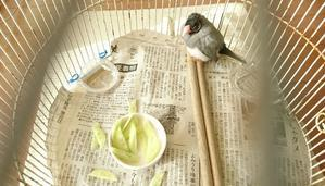 最近の文鳥 - おうち日記
