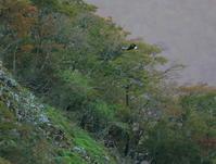イヌワシ幼鳥:②目立つ白い斑2020 - バード・アイ・ライフ