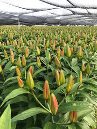 朝の花切り - ユリ 百合 ゆり 魚沼農場の日々