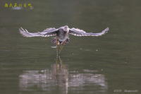 バンの幼鳥 - 奥武蔵の自然