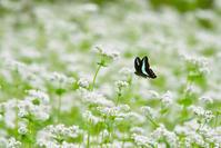 蕎麦の花にアオスジアゲハとナミアゲハ - TOM'S Photo