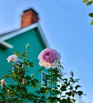お迎えしたお花達♡と、薬害だけど元気になった♫ - 薪割りマコのバラの庭