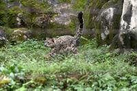 ユキヒョウ - 動物園へ行こう