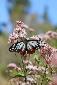 フジバカマに吸蜜するアサギマダラ - 蝶超天国