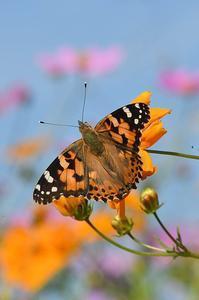 ヒメアカタテハ - 続・蝶と自然の物語